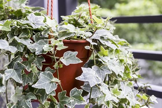 Břečťan můžeme pěstovat i jako pokojovou rostlinu.