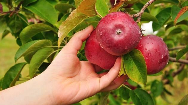 Sklizeň červených jablek.