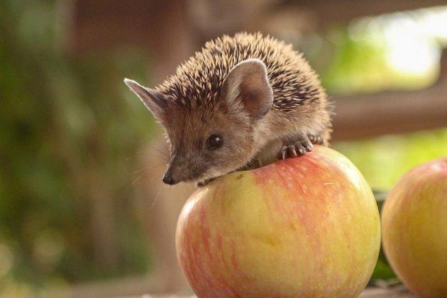 O jablka k večeři nestojí ani ježek ušatý