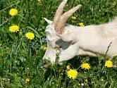 Koza se pase na jarní louce.