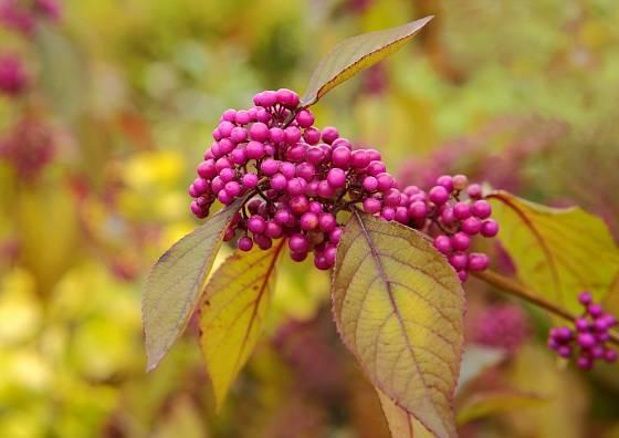 Krásnoplodka Bodinierova (Callicarpa bodinieri) je atraktivní hlavně na podzim.
