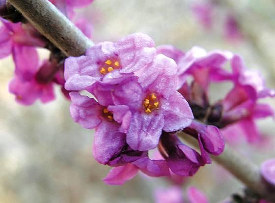 Lýkovec jedovatý (Daphne mezereum)