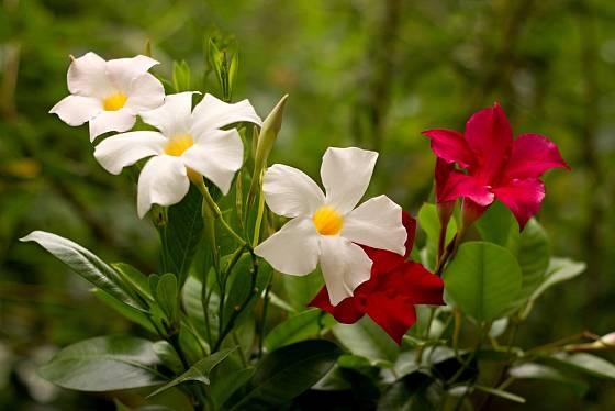 Dipladénie (Mandevilla) - bíle a červeně kvetoucí.