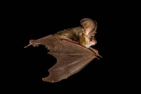 netopýr ušatý v letu