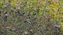 Plody ptačího zobu jsou pro nás jedovaté, ovšem ptáci je milují. Přilákat mohou i vzácné zimní ptačí hosty, brkoslavy severní