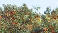 Stromy rakytníku dávají vysoce výhřevné dřevo.