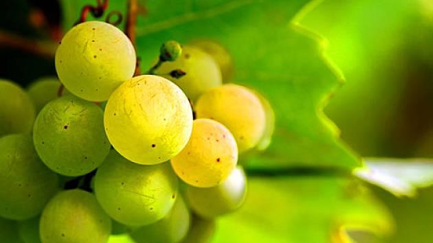 bílé víno - hrozny