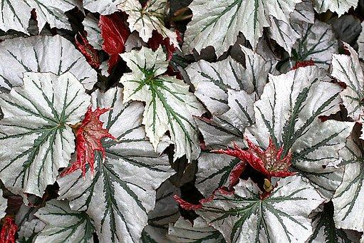 Listy begónií jsou velmi atraktivní a rozmanité
