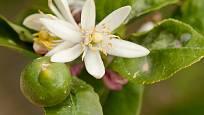 Citróníky běžně nesou květy i zrající plody zároveň