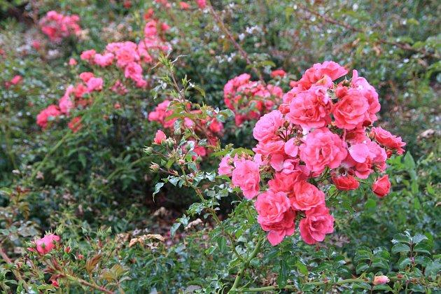 Půdopokryvná růže, odrůda Haidetraum