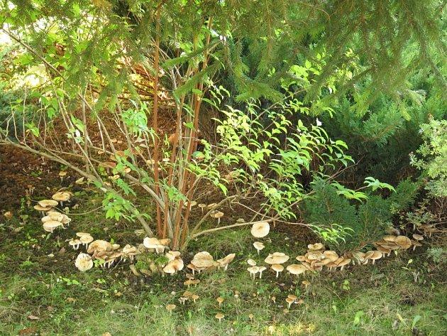 Houby v magickém kruhu často objevíme i na zahradě či louce.