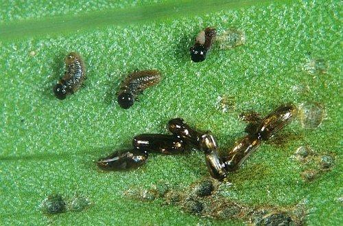 Samičky kladou po páření na spodní stranu listů lilií drobná vajíčka. Brzy se z nich vylíhnou žlutooranžové až špinavě oranžové larvy s černou hlavičkou.