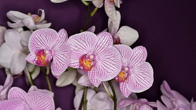 Orchidej je ozdobou každého parapetu