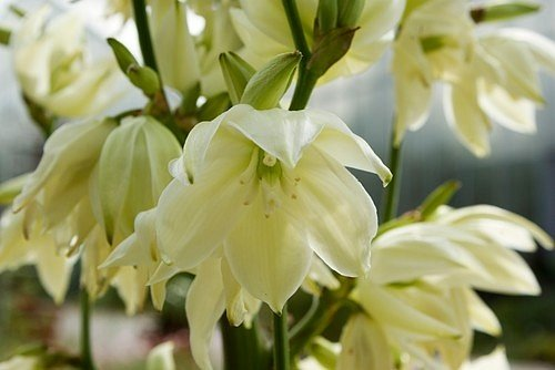 Květenství je mohutné, vysoké až 180 cm, tvoří jej několik řad bílých nebo krémově bílých zvonečků.