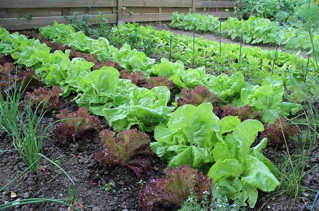 Záhon se saláty potěší i na pohled