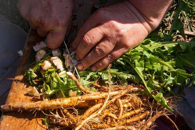Pampeliškový kořen je potřeba nejprve oddělit od nadzemní zelené části rostliny