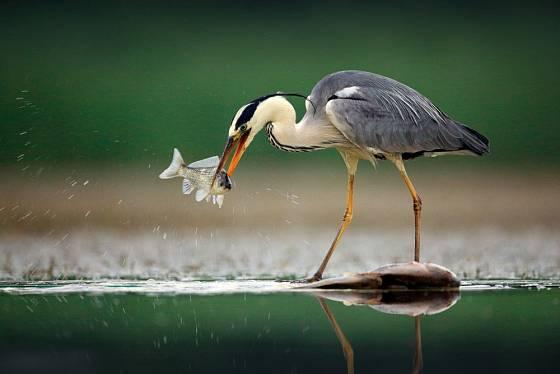 Volavka popelavá je velmi trpělivý rybář.