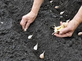 výsadba česneku