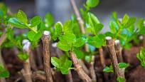 Řízkováním lze získat mnoho sazenic identických s matečnou rostlinou