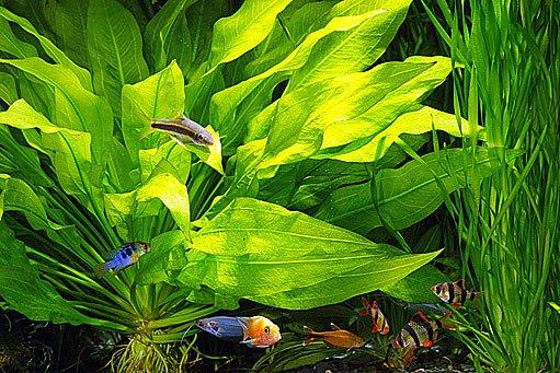 Zákruticha šroubovitá (Vallisneria spiralis)