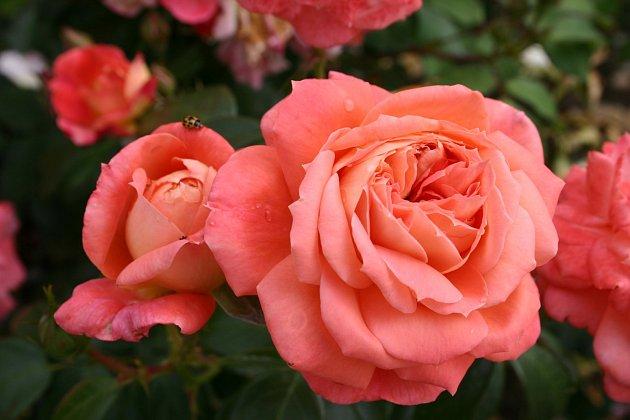 mnohokvětá růže, odrůda Queen of Hearts