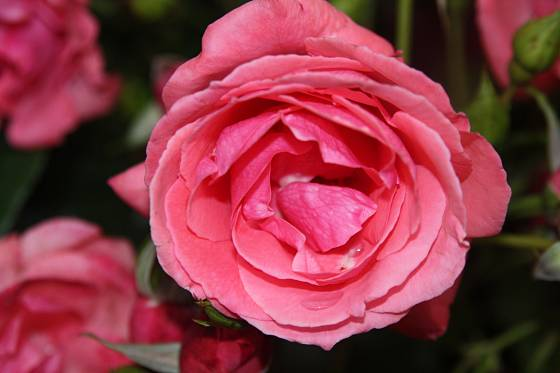 Lawinia (Tantau, Německo, 1980). Sytě růžový květ je asi 10 cm velký, voní; výška růže 2,5 m. Opakovaně kvetoucí