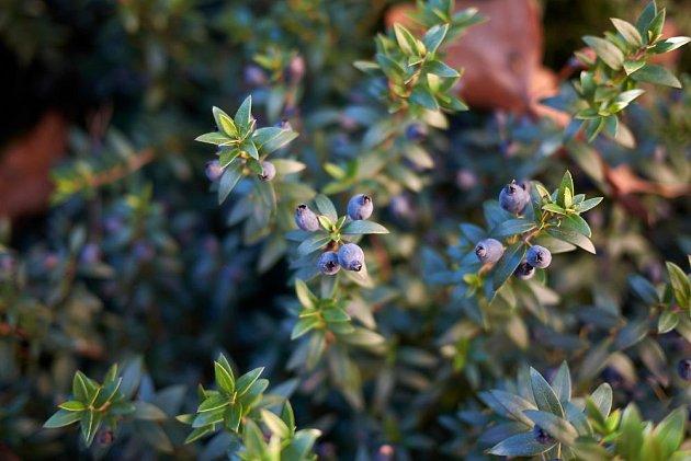 myrta obecná (Myrtus communis)