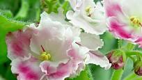 Květy africké fialky nemusí být jen fialové