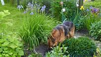 Je vůbec možné ochránit zahradu před svérázným psím zahradničením?