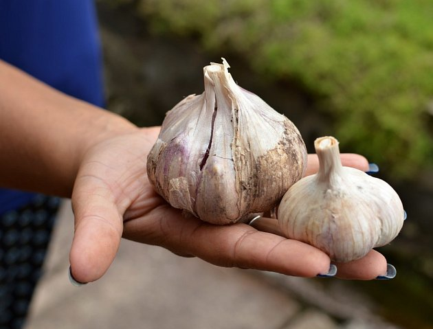 Výběr vhodné odrůdy zajistí velkou a kvalitní úrodu.