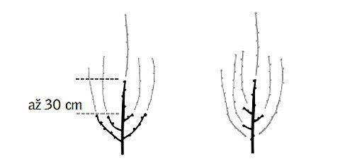 výchovný řez při výsadbě a při jarní výsadbě