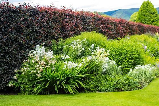 Živý plot jako ochrana zahrady a zároveň atraktivní pozadí trvalkového záhonu.