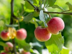 Letní jablka již zrají