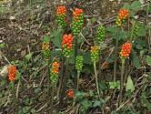 Dozrávající plodenství árónu plamatého potkáte v našich lesích koncem léta.