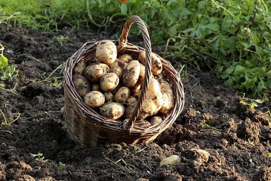 Nejlepší brambory? Ty, které si sami vypěstujete.