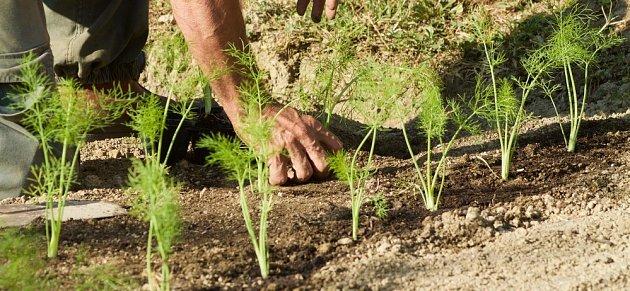 rostoucí sazenice zelenonového fenyklu