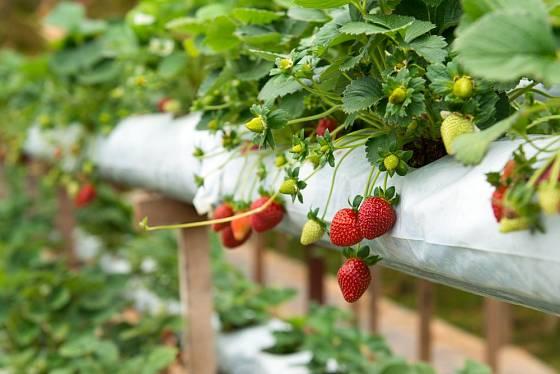 Pěstování jahod přináší nejen chutné a zdravé plody, ale také nutnost dostatečné péče.