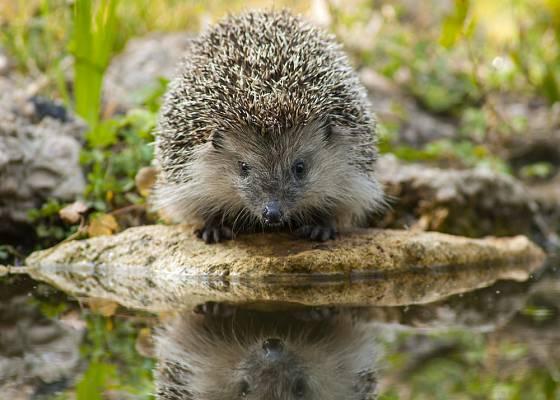 I ježci mají žízeň