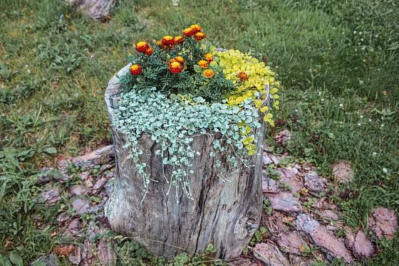 Pařez osázený afrikány a rostlinami s atraktivně zbarvenými listy.