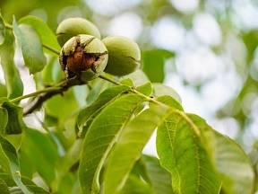Vlašské ořechy jsou plody královského ořešáku.
