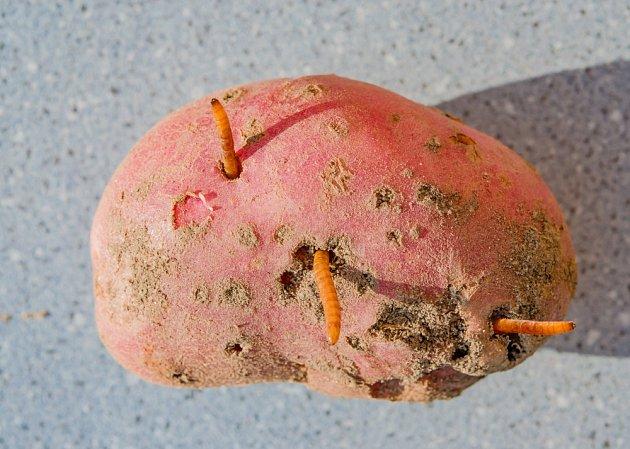 Drátovci jsou larvy různých druhů kovaříků. Škody způsobuje přes deset druhů, nejčastěji z rodů Agriotes a Athous.