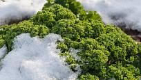 Kadeřávek dodá vitamíny i v zimě