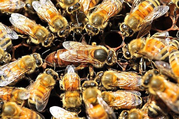 včelí matka obklopená dělnicemi
