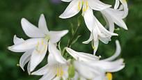 lilie bělostná (Lilium candidum)