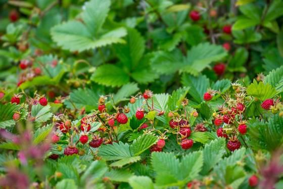 Měsíční jahůdky můžeme pěstovat jako půdopokryvné rostliny. Podobně poslouží i jahůdky plané (jahodník obecný, trávnice či truskavec)