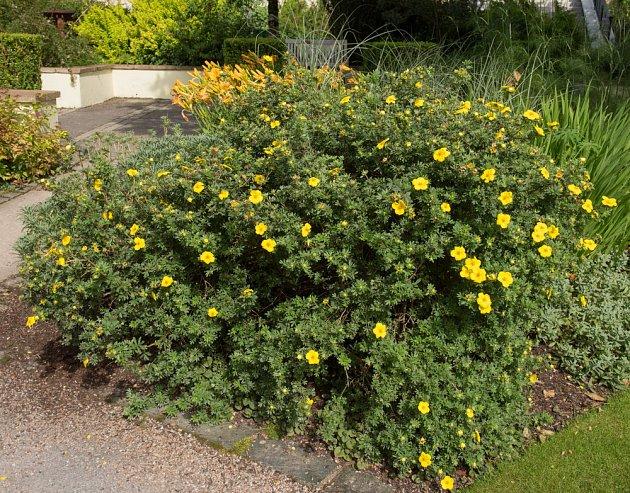 Celkový pohled na keř žlutě kvetoucí mochny.
