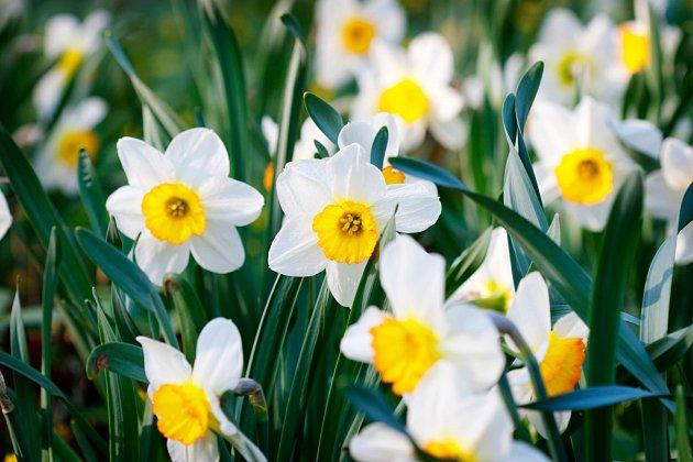 Narcisy patří mezi nejvděčnější jarní cibuloviny