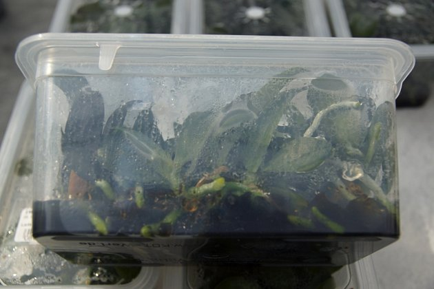 Malé rostliny se rozmnožují a několik prvních týdnů pěstují v plastových nádobách.