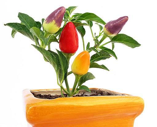 okrasná paprika