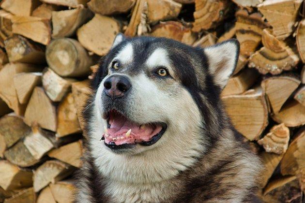 I když vypadá spíše jako vlk, malamut je tiché, přátelské a mírumilovné zvíře, které nemá problém ani smalými dětmi a jinými psy.